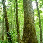 Big Tree in Joyce Kilmer