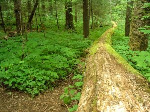 Nantahala National Forest: Joyce Kilmer Memorial Forest