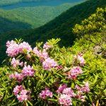 Craggy Gardens Rhododendron