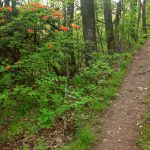 Flame Azalea Beside Trail