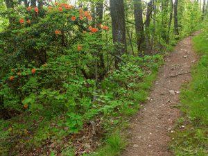 Flame Azalea Beside Trail