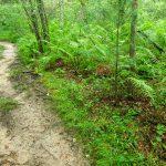 Huge Ferns beside the Ledford Trail.