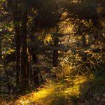 Backlit Spruce Forest