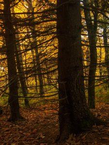 Spruce Silhouette
