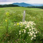 Max Patch Flowers and View