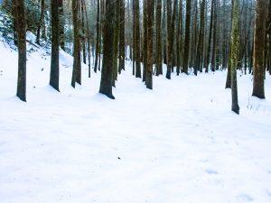 Dark Trunks in Snow