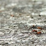 Ants on Stone Mountain