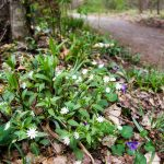 Spring Wildflowers on the Art Loeb-Estatoe Trail