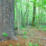 Big Pine in Richmond Hill Park