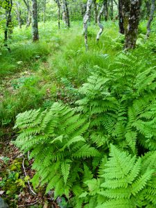 Ferns and Open Forest on the Mountains to Sea Trail