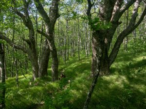 Big Trees in the Grassy Forest on the Mountains to Sea Trail