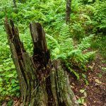 Old Stump beside the Mountains to Sea Trail