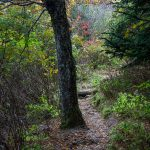 Tree Beside the Trail