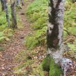Dark Moss on Gray Birches