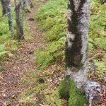 Dark Moss on Gray Birches