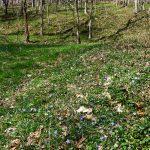 Rough Creek Watershed Bluets