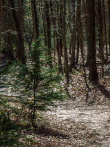 Carolina Hemlock on the Wintergreen Falls Trail