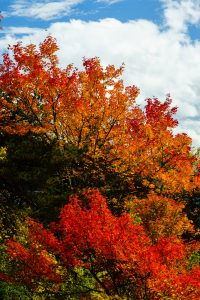 Red and Orange Maples
