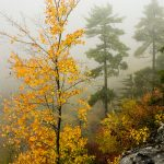Yellow Maple in Linville Gorge