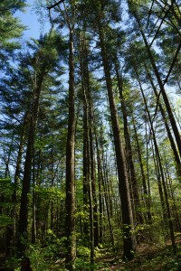 Tall White Pines in Shope Creek