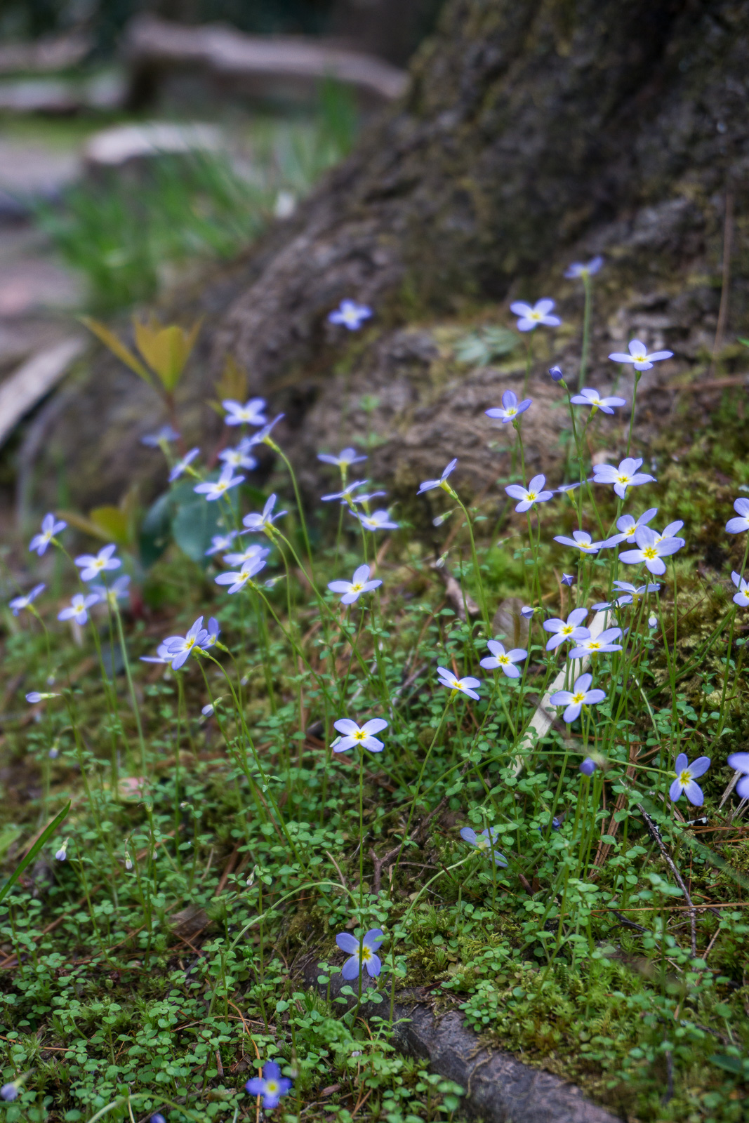 Bluets Beside Tree Trunk