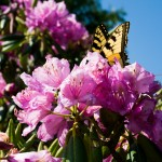 Butterfly on Rhododendron Flowers