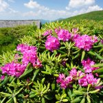 Rhododendron at Trail Shelter