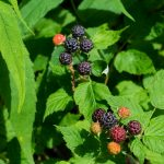 Black Raspberries on the Mountains to Sea Trail
