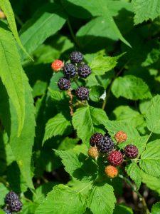 Black Raspberries on the Mountains to Sea Trail