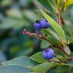 Blueberry in Craggy Gardens