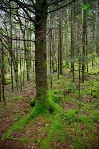 Green Mossy Forest on Roan Mountain