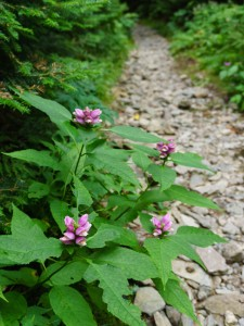 Pink Turtleheads and Stone Trail