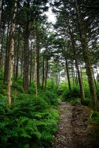 Fraser Firs on Roan Mountain
