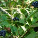 Grape or Blueberry Look-Alike
