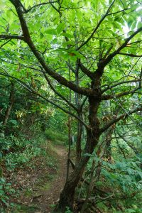 American Chestnut on the Laurel Mountain Connector Trail
