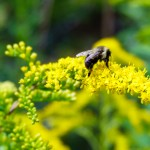 Bees gathering pollen from goldenrod