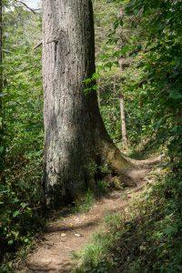 Large Dead Hemlock on the Douglas Falls Trail