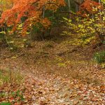 Arched Sourwood in Fall Color