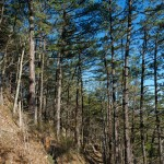 Pines on Lover's Leap Ridge