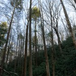 Tall Trees beside Pump Gap Loop Trail