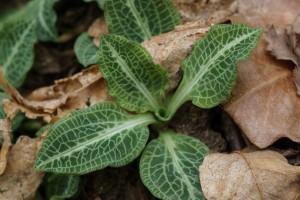 Rattlesnake Plantain Leaves
