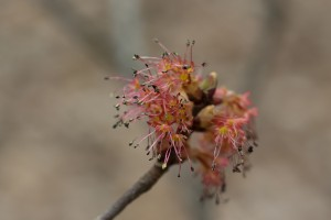 Red Maple Bloom