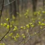 Spicebush in the Understory
