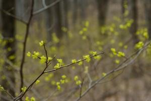 Spicebush in the Understory