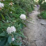 Rhododendron on the Bridge Trail