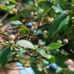 Blueberries on the Grandfather Extension Trail