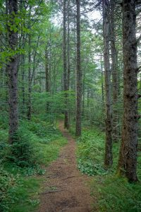 Trail through Norway Spruce