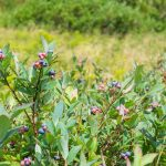 Blueberries in Graveyard Fields