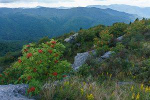 Mountain Ash on Sam Knob