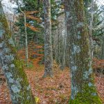 Pair of Mossy Trees on Bald Knob Ridge